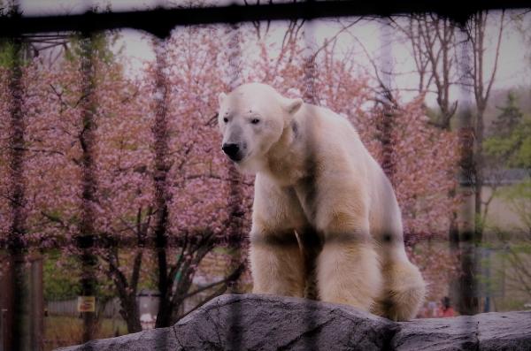 旭山動物園 旭川市 北海道遠征 ホッキョクグマ