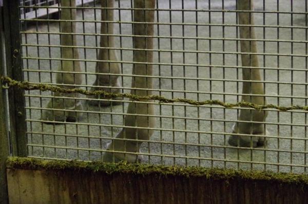 円山動物園 ユウマ君の蹄(ヒヅメ) マサイキリン