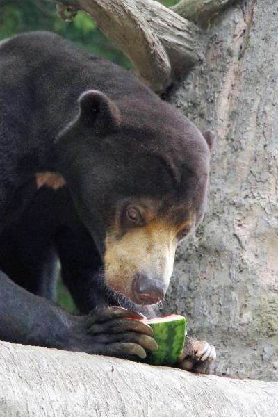 福岡市動物園 マレーグマ サニー♂