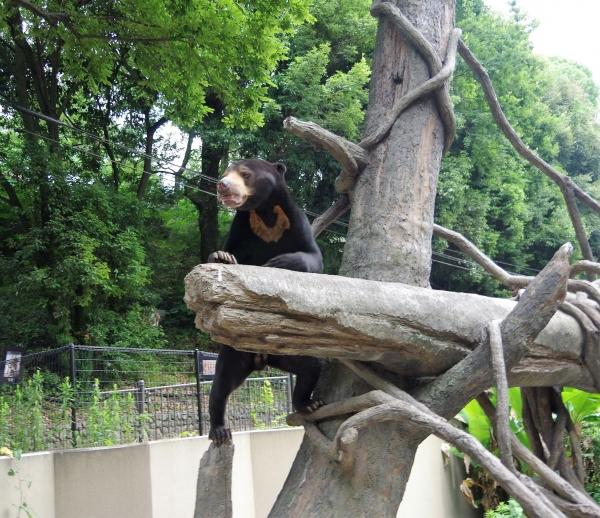 福岡市動物園 マレーグマ サニー君 ♂