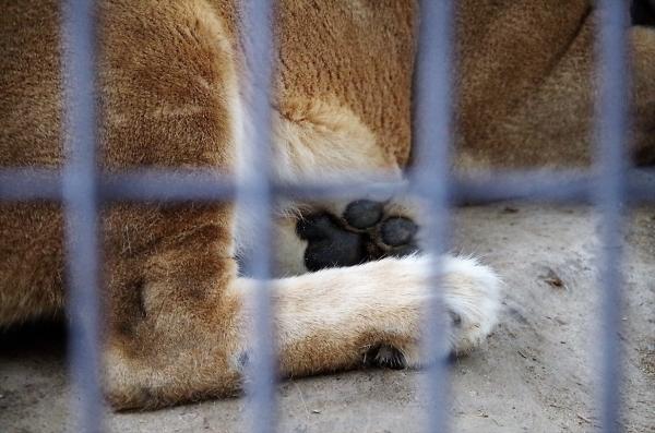ライオン 福岡市動物園 ネネさん