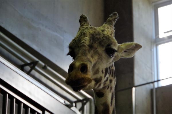 円山動物園 マサイキリン ユウマ君