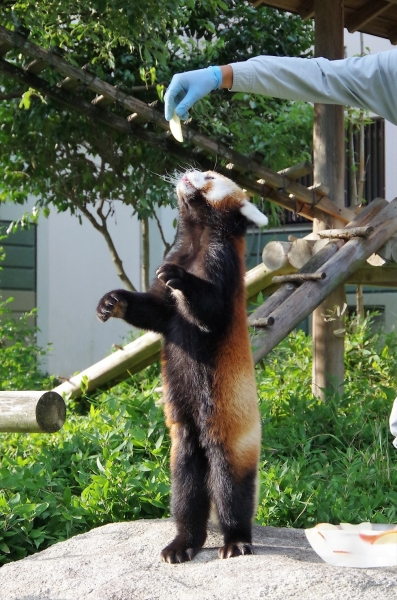 ノゾム君♂ レッサーパンダ 福岡市動物園
