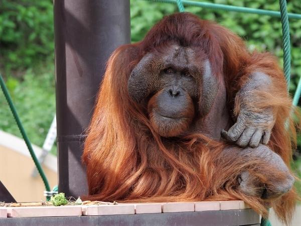福岡市動物園 オランウータン オス「ミミ」推定48歳
