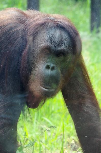 福岡市動物園 ボルネオオランウータン ♂ミミ ♀ドーネ