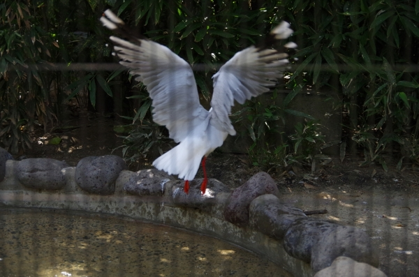 たぶん(?)ギンカモメ 福岡市動物園