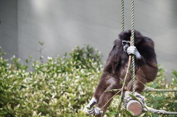 福岡市動物園 シロテテナガザル アイ
