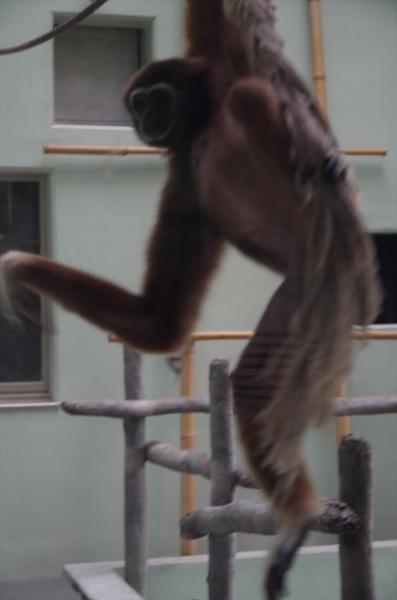 福岡市動物園 シロテテナガザル キナコ