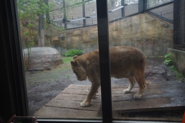 旭山動物園 旭川市 北海道遠征 ライオンの老夫婦、ライラとレイラ
