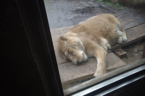 旭山動物園 旭川市 北海道遠征 ライオン ♀