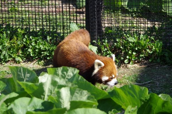レッサーパンダ 赤パンダ 札幌市 円山動物公園