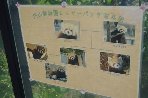レッサーパンダ 赤パンダ 家系図 札幌市 円山動物公園