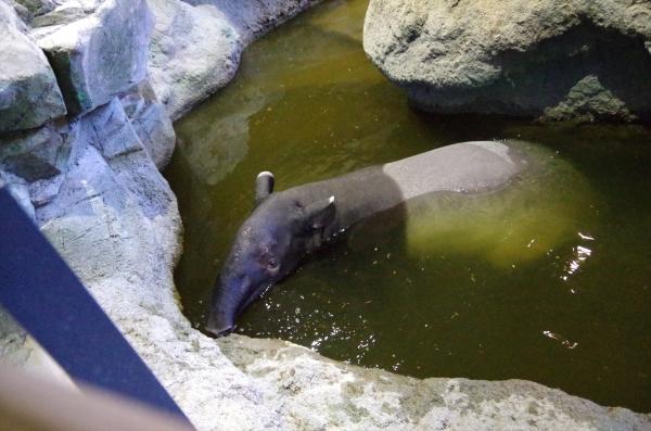 円山動物園 札幌 マレーバク わかばちゃん