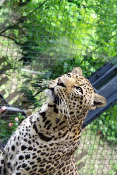福岡市動物園のヒョウ サン君