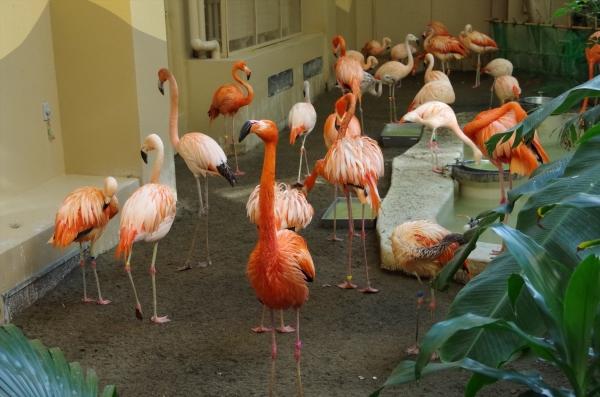札幌 円山動物園 フラミンゴ