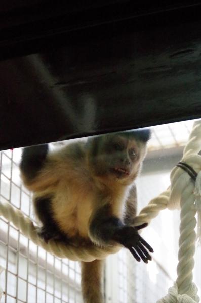 円山動物園 フサオマキザル