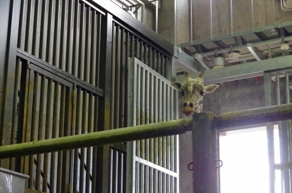 札幌 円山動物園 マサイキリン