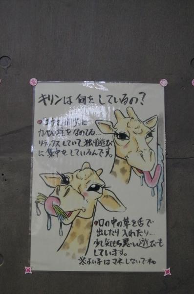 円山動物園 POP マサイキリン