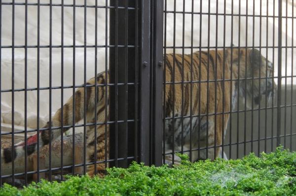 アムールトラのメイちゃん 福岡市動物園
