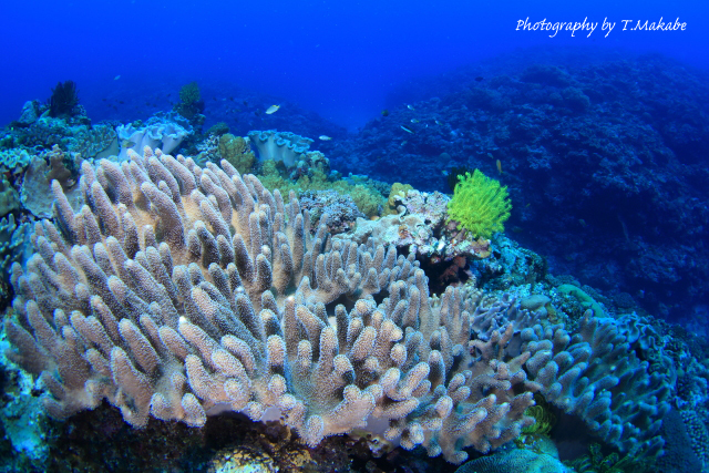 慶良間奥武島のサンゴ