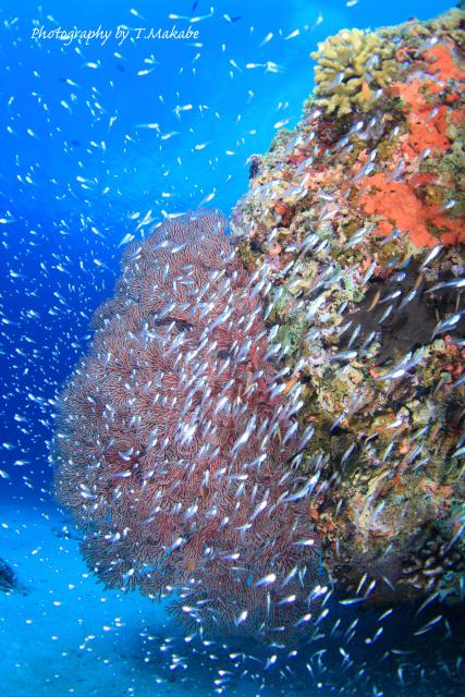沖縄慶良間諸島のスカシテンジクダイ