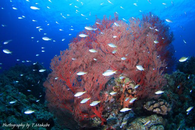 沖縄慶良間諸島のイソバナ