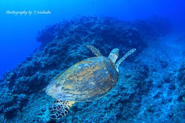 沖縄慶良間諸島のアオウミガメ