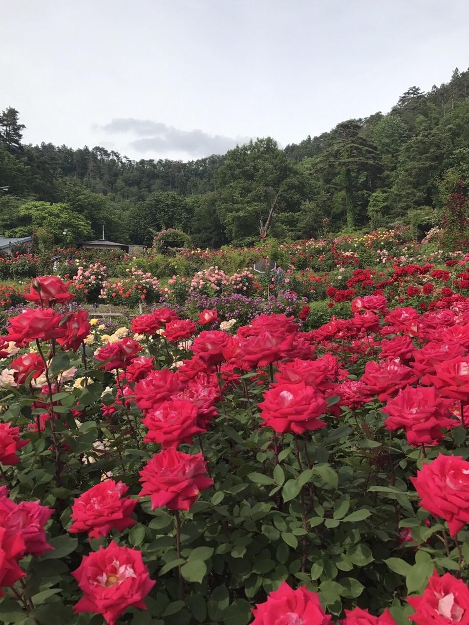 東沢バラ公園(山形県)で散歩 - マキタツ博士のなんでも研究所