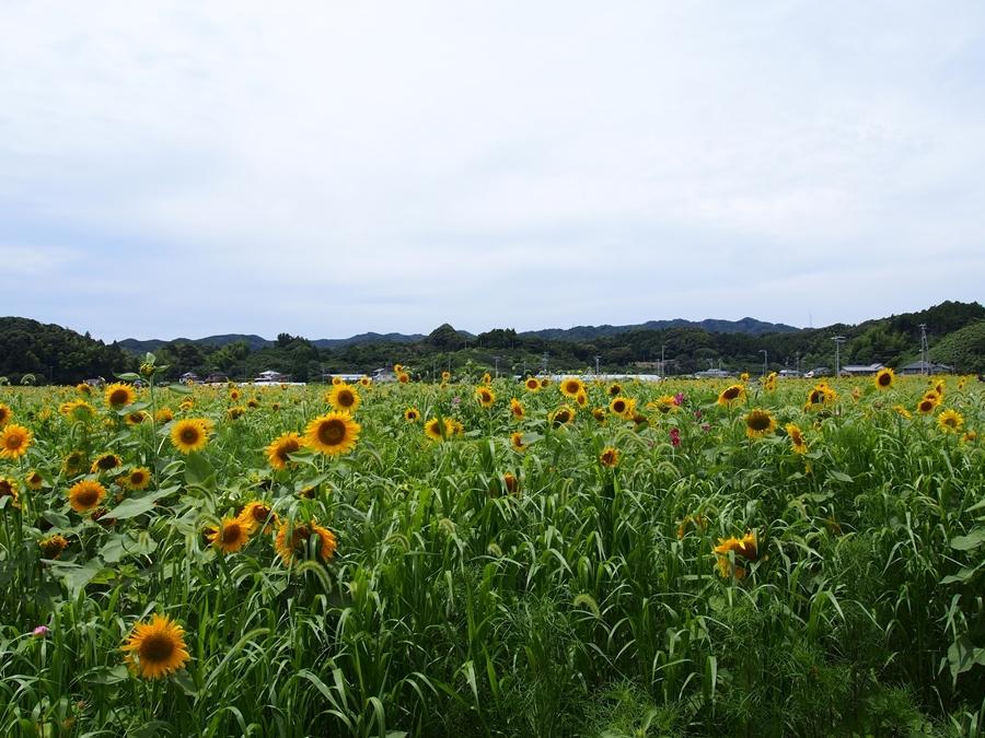 kakegawa-20170717-01.jpg
