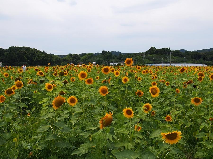 kakegawa-20170717-20.jpg