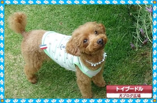 犬ブログ広場トイプードル