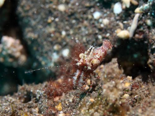 サンゴモエビ_7616