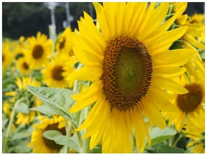 ひまわり7(花と虫)