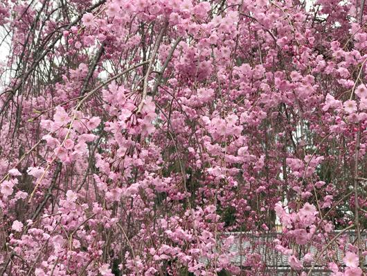 7_枝垂桜