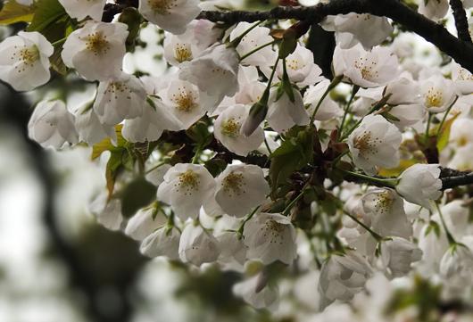 8_白い桜