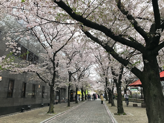 13_桜並木