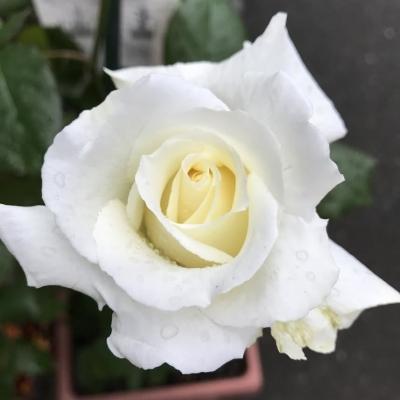 ヨハネ・パウロ二世 薔薇2017