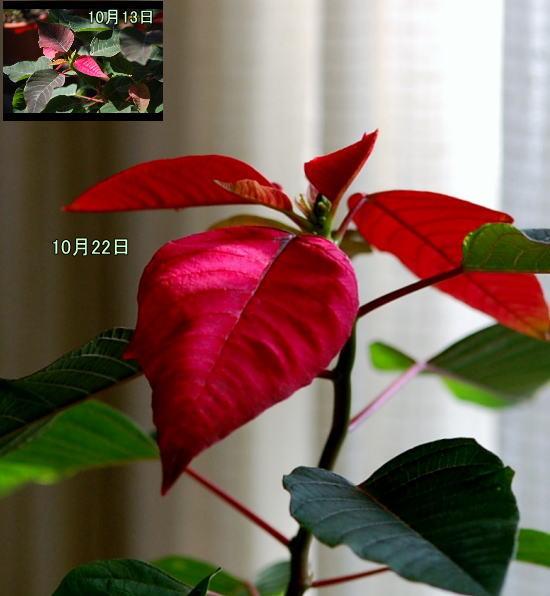 Poinsettia20131022a.jpg