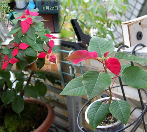 Poinsettia20131022c.jpg