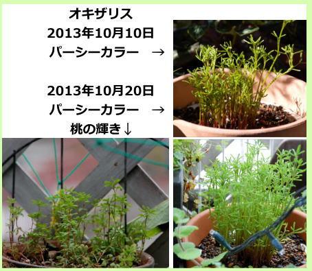 oxalis_aki01.jpg