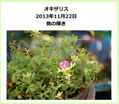 oxalis_aki03.jpg