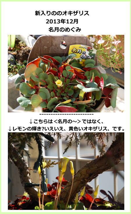 oxalis_fuyu00.jpg