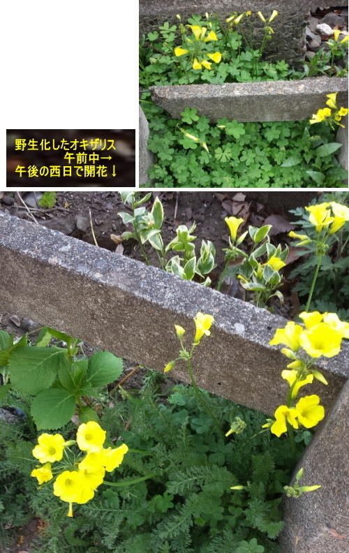 20150403okizarisu04.jpg