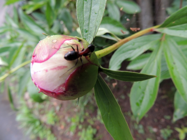 N9373花とアリ