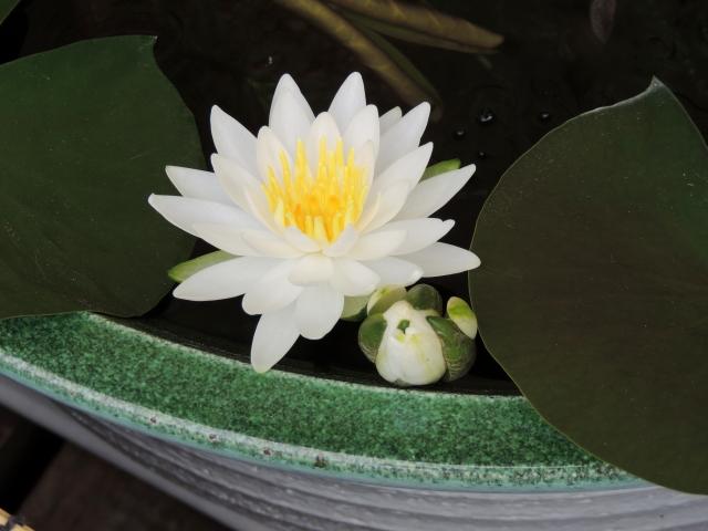 N9465睡蓮の花