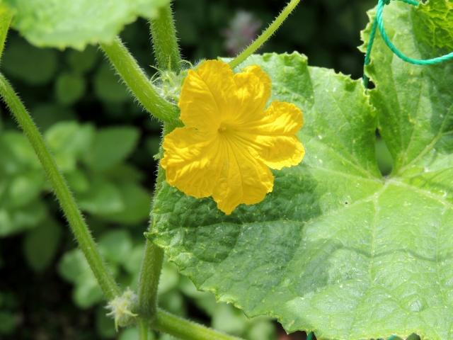N9478きゅうりの花