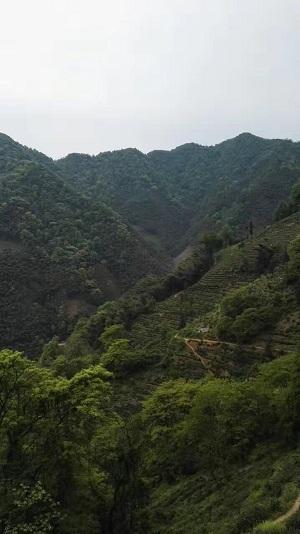 太平猴魁茶园-2