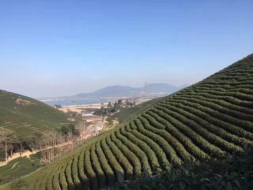 安吉白茶茶園