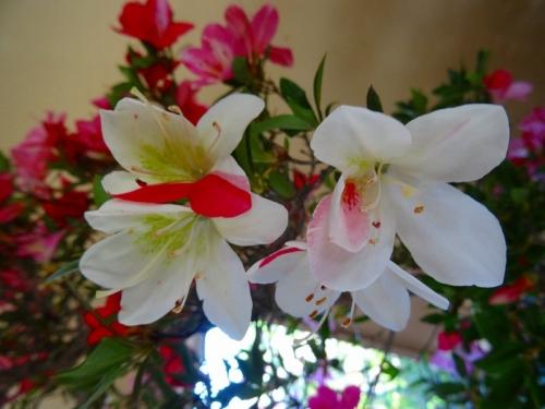 桃香に出た白絞りの花DSC03893