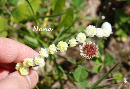 clover1-3.jpg